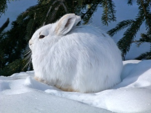 Our resident snowshoe hare.