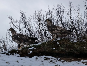Juvenile bald eagles take a break at the side of the road.