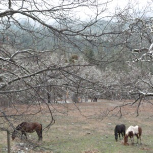 Ponies in the pasture at Chimney Rock
