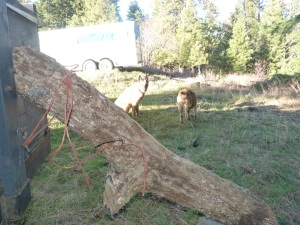 Garry Oak branch inoculated with shiitake