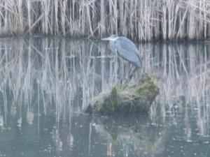 The Great Blue Heron awaits his mate.