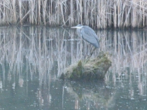 The Great Blue Heron awaits his mate.