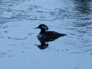 And the Wood Duck too!