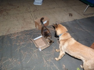 Nosework practice -- Mira found the chicken in the box first!